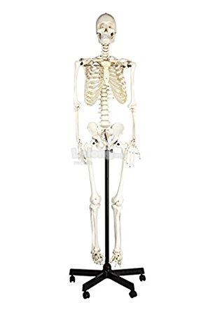 Model of Human Skeleton 168cm Iron Stand