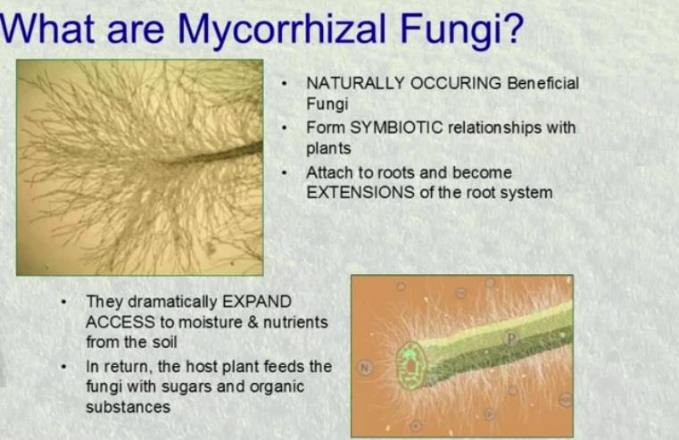 Pictures of mycorrhizal fungi home.