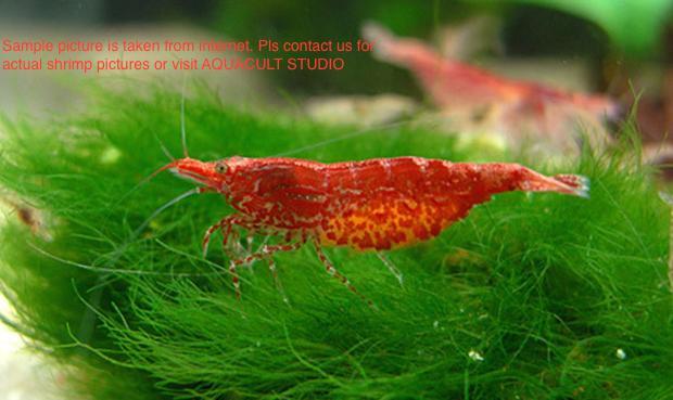 Neocaridina - Cherry Shrimp (Aquarium Shrimp)