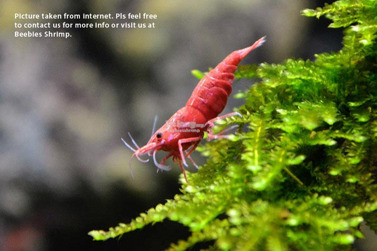 Neocaridina-Fire Red Shrimp