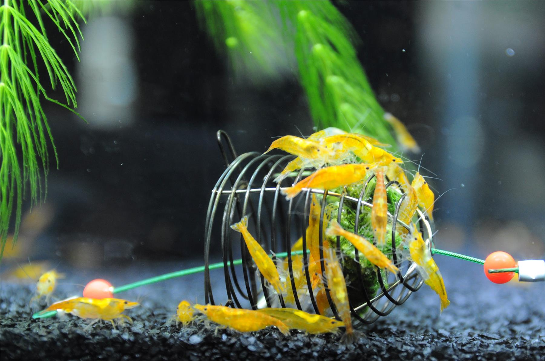 Neocaridina Orange Sunkist Shrimp Fre (end 7/6/2019 2:36 PM) Shrimps In Aquarium