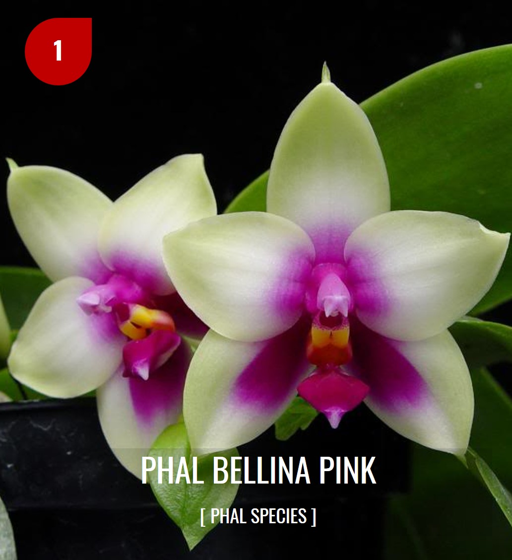PHALAENOPSIS ORCHIDS COMPOT (end 7/13/2020 1:53 PM) on dracula orchid, mokara orchid, bright purple orchid, oncidium orchid, phalaenopsis bellina, maxillaria orchid, moth orchid, miltonia orchid, giant orchid, yellow orchid, flowers orchid, cattleya orchid, doritis orchid, dendrobium orchid, vanda orchid, vanilla orchid, jewel orchid, most rare orchid, ficus elastica, cymbidium orchid, most exotic orchid, paphiopedilum orchid,