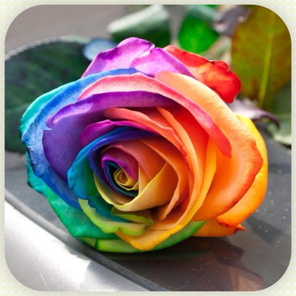 Rainbow color rose flower seeds 200 end 9 4 2016 8 15 pm for How to color roses rainbow