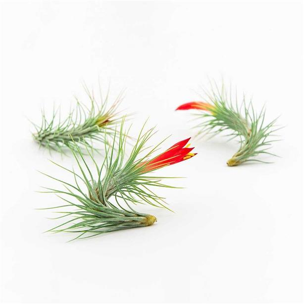 REAL LIVE AIR PLANT TILLANDSIA FUNCKIANA LOCAL READY STOCK