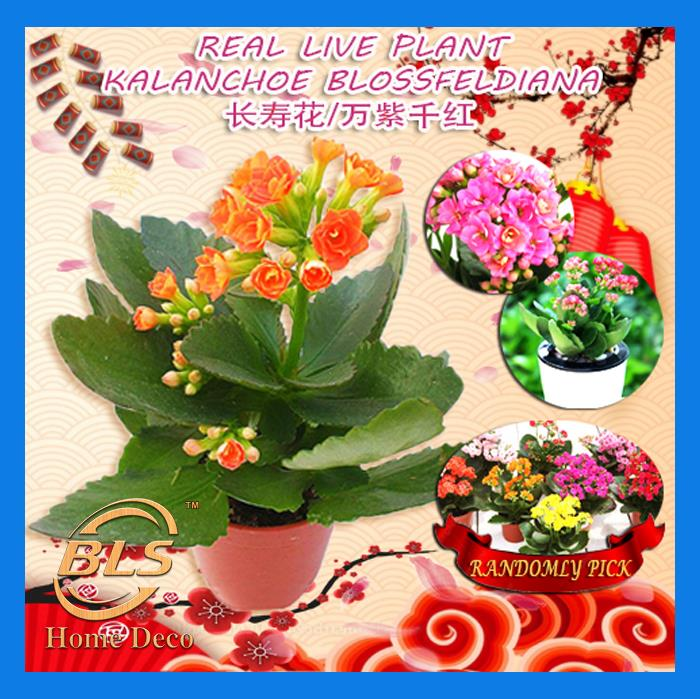 REAL LIVE PLANT KALANCHOE WITH PLASTIC POT RANDOMLY PICK READY STOCK