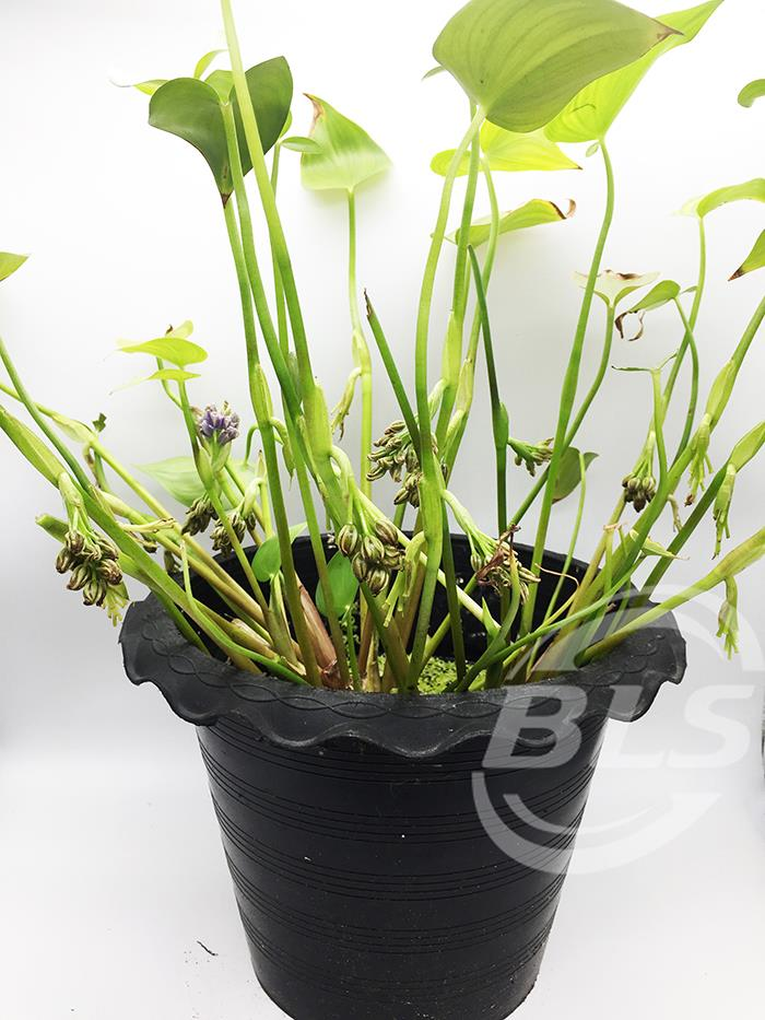 REAL LIVE PLANT WATER PLANT WITH BLUE COLOUR FLOWER HYACINTH WITH POT