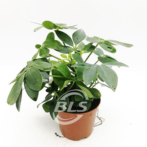 REAL LIVE SCHEFFLERA PLANT WITH PLASTIC POT 鹅掌叶&#..