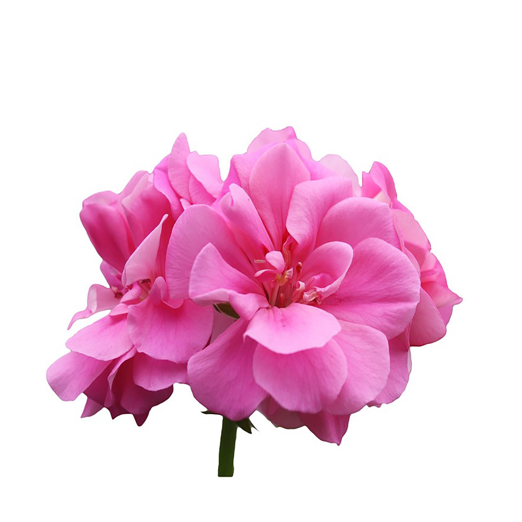 Rose Geranium Oil/Eygpt 10ml (end 10/21/2020 10:15 AM)