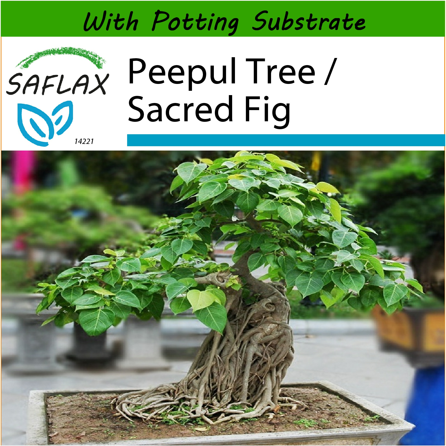 Saflax Bonsai Peepul Tree Sacr End 9 20 2019 337 Am Ficus Wiring Sacred Fig 100 Seeds With