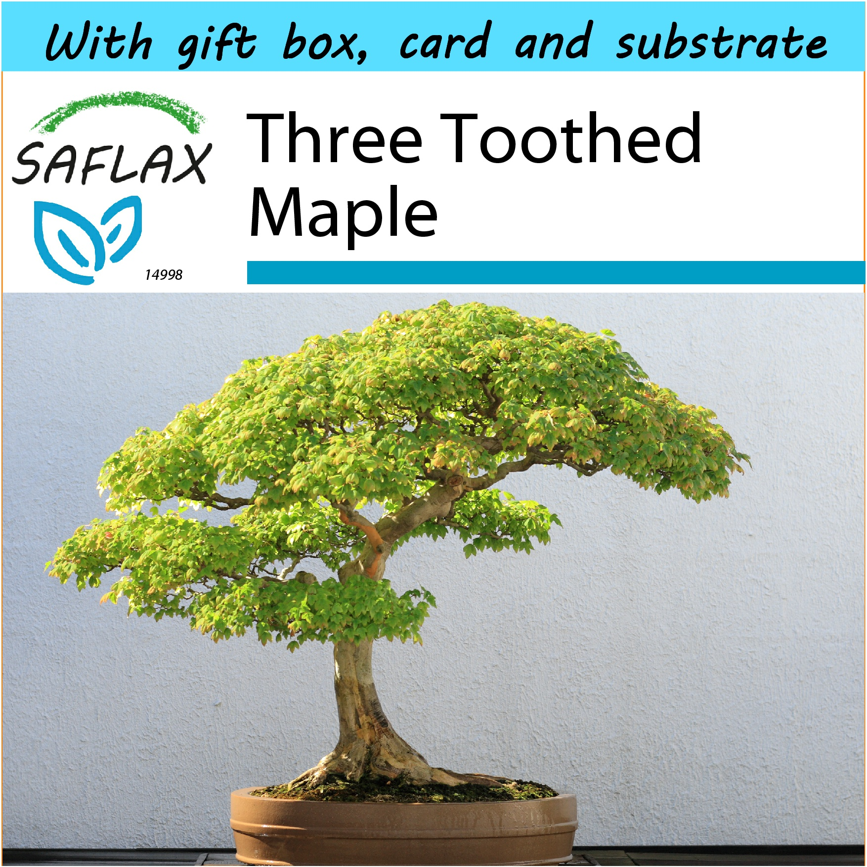 SAFLAX Gift Set - Bonsai - Three Toothed Maple - Acer - 30 seeds. ‹ ›