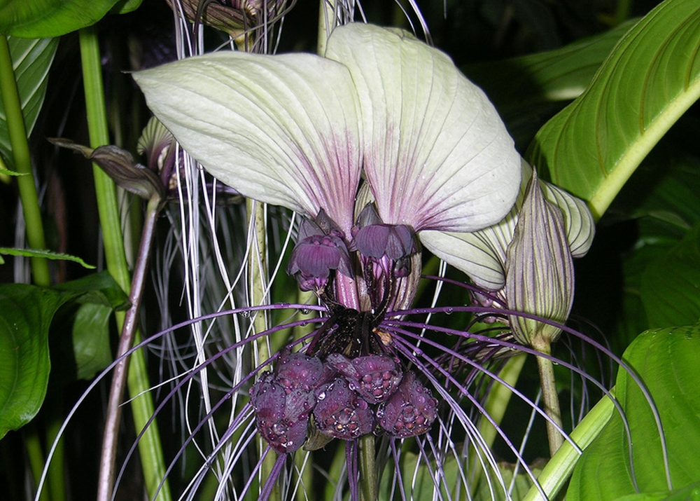 Saflax white bat flower tacca end 9202019 259 am saflax white bat flower tacca 10 seeds mightylinksfo
