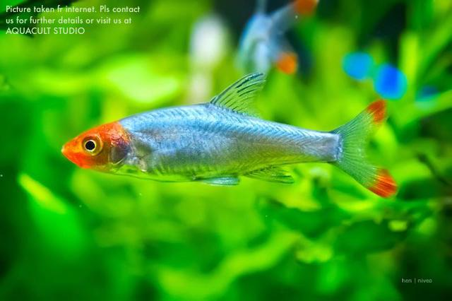 Sawbwa Resplendens (aquarium Freshwater Fish Shrimp Aquascape)