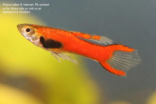 Scarlett endlers 39 rare 39 male only aq end 1 30 2019 2 15 am for Endler guppy