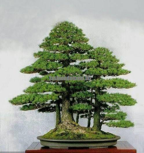 Seifu Seeds Bonsai Seeds 50pcspack Dawn Redwood Bonsai Tree