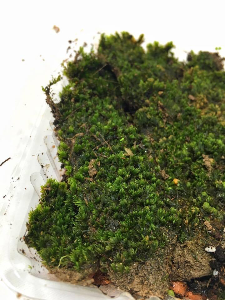Sheet Moss Terrarium Vivarium P End 10 19 2019 1 15 Pm