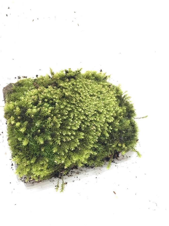 Star Moss Terrarium Vivarium Pa End 10 19 2019 1 15 Pm