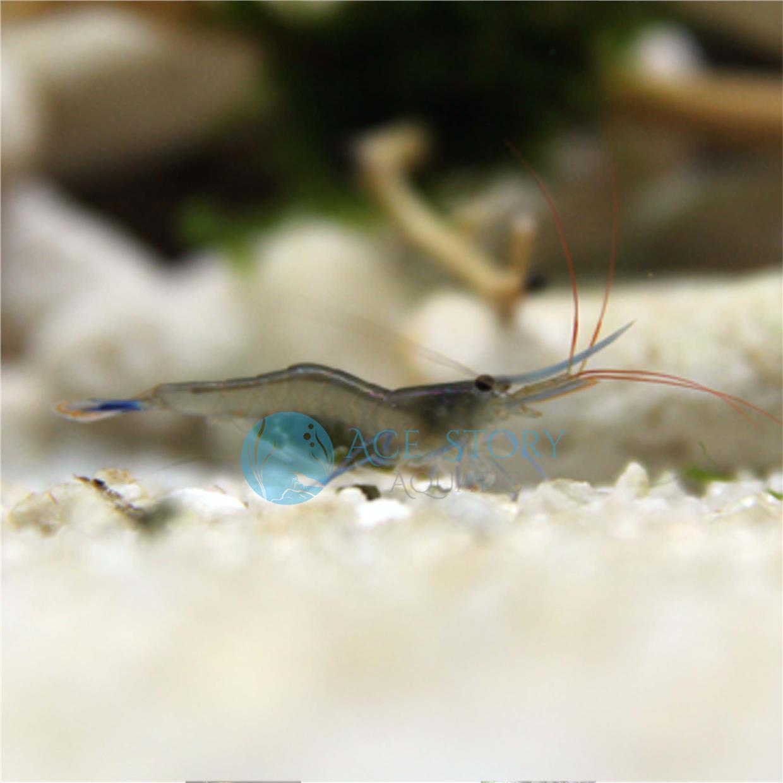 blue shrimp price harga in malaysia lelong