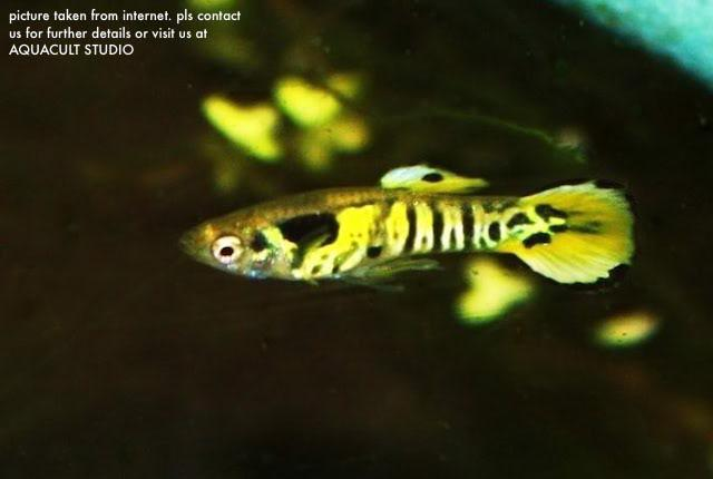 Tiger Endler - Male only (aquarium fish freshwater guppy)