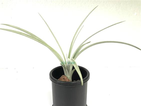 Tillandsia Exserta Giant - Air Plant