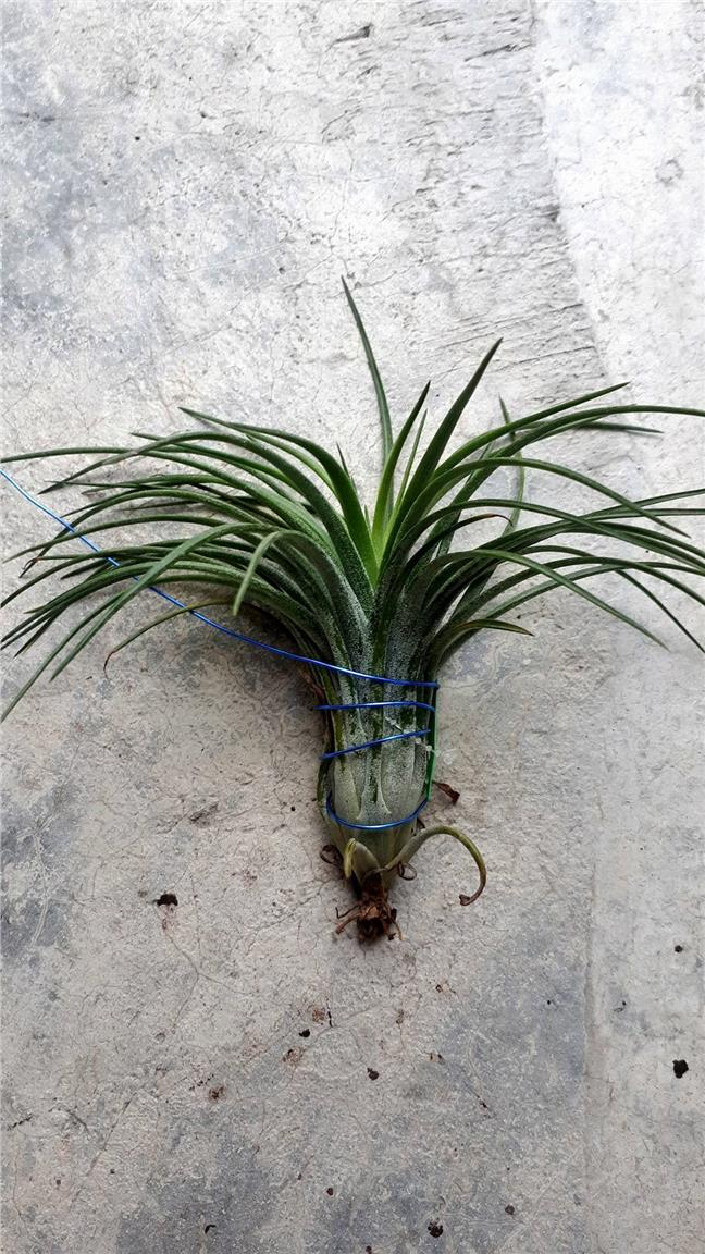 Tillandsia Victoria Giant Form