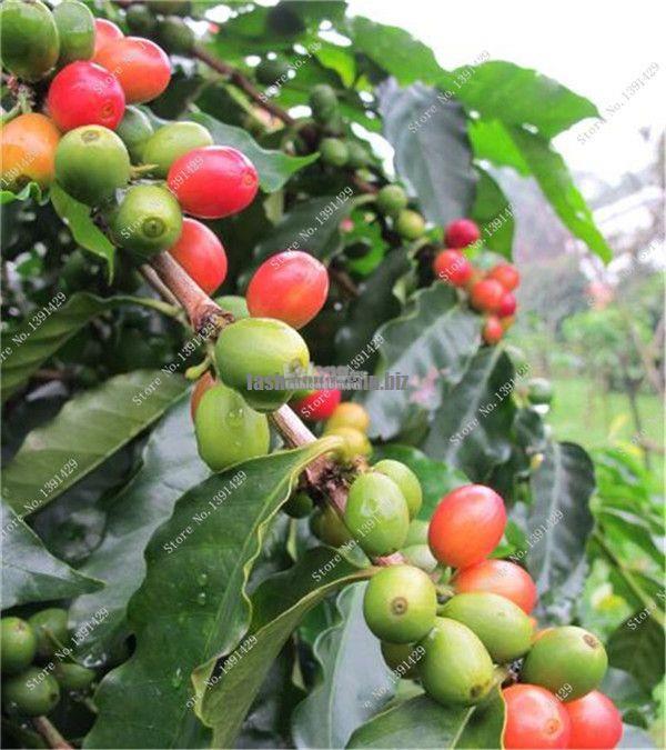 tropical coffee beans seed green food organic fruit seed