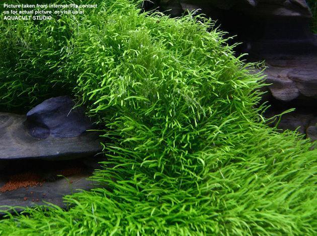Utricularia Sp Foreground Aquari End 9 29 2020 4 15 Pm