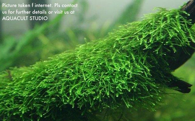 Vesicularia Dubyana Java Moss 6cmx6cm Ss Mesh(Aquarium Aquascape)