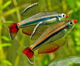 Vietnamese Minnow Aquarium Fish S End 3 12 2020 7 15 Pm