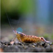 Malayan Rainbow Shrimp