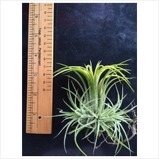 Air Plant - Tillandsia Ionantha Druid - Single Stem Plant