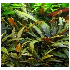 Cryptocoryne Wendtii 'Brown' (Emersed)