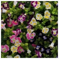Kauai Mixture Torenia Flower Starter Kit