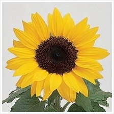 Sunflower Ballad Flower Starter Kit