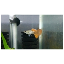 Red Lace Guppy ( 1 Pair )
