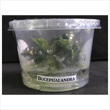 Bucephalandra Wavy Green Tissue Culture波浪绿叶