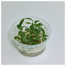 Cryptocoryne Petchii Pink Tissue Culture