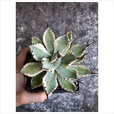 吉祥冠锦 Agave Potatorum 'Kisshoukan' f Varieg..
