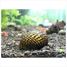 Oualaniensis Snail