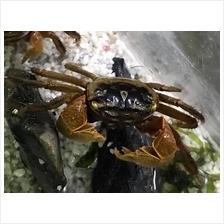 Board Crab