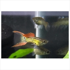 Lace Double Sword Guppy ( 1 Pair )