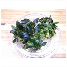 Bucephalandra Sp. Red Mini 赤色(小叶) Tissue Culture