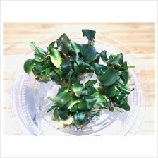 Bucephalandra Sp Black Eye Tissue Culture