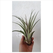 Tillandsia Capitata Red X streptophylla