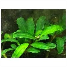 Bucephalandra Sp  'Blue Bell' (Aquatic Plant / Aquarium): Best Price in  Malaysia