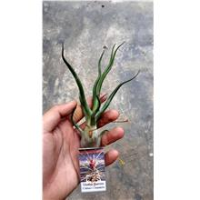Tillandsia Showtime