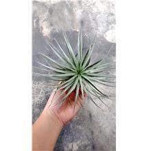 Tillandsia Huston Cotton Candy