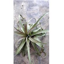 Tillandsia Capitata x Streptophylla (curly form)