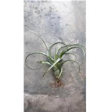 Tillandsia Flexuosa Twist