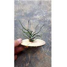 Tillandsia Bulbosa Seedling