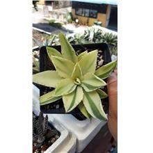 Agave Potatorum Kisshoukan Specila Variegation